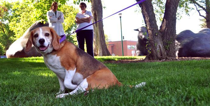 Buddy the beagle on St. Paul campus lawn