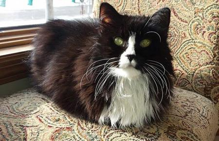 Oliver, a black, long-hair cat with white markings, sitting on a chair.