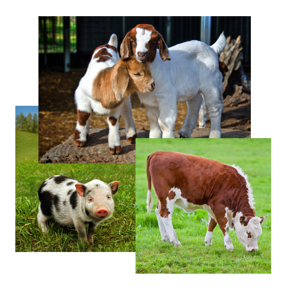 Large animal hospital image collage with cow, goats and pig