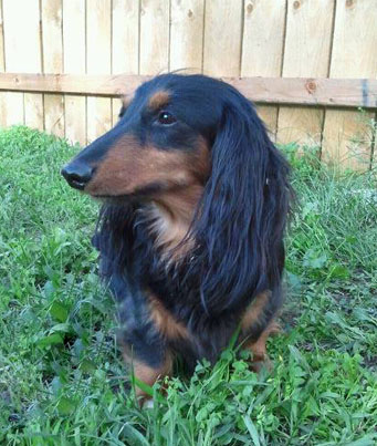 Diesel, a black and tan Dachshund, standing in the grass.