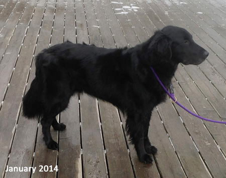 Flyer, a black, Flat-Coated Retriever, standing in profile