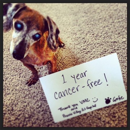 "Gertie, a small dog, stands near a card that says ""1 year cancer free! Thank you VMC!"""