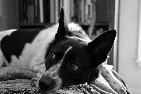 Black and white dog resting on blankets
