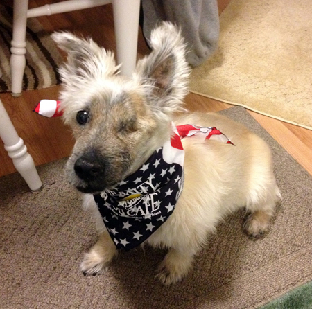 Riley, a white Scottish Terrier, wearing a bandanna around his neck, after eye surgery.
