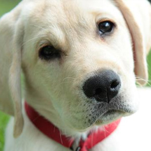 Close up of yellow Labrador Retriever