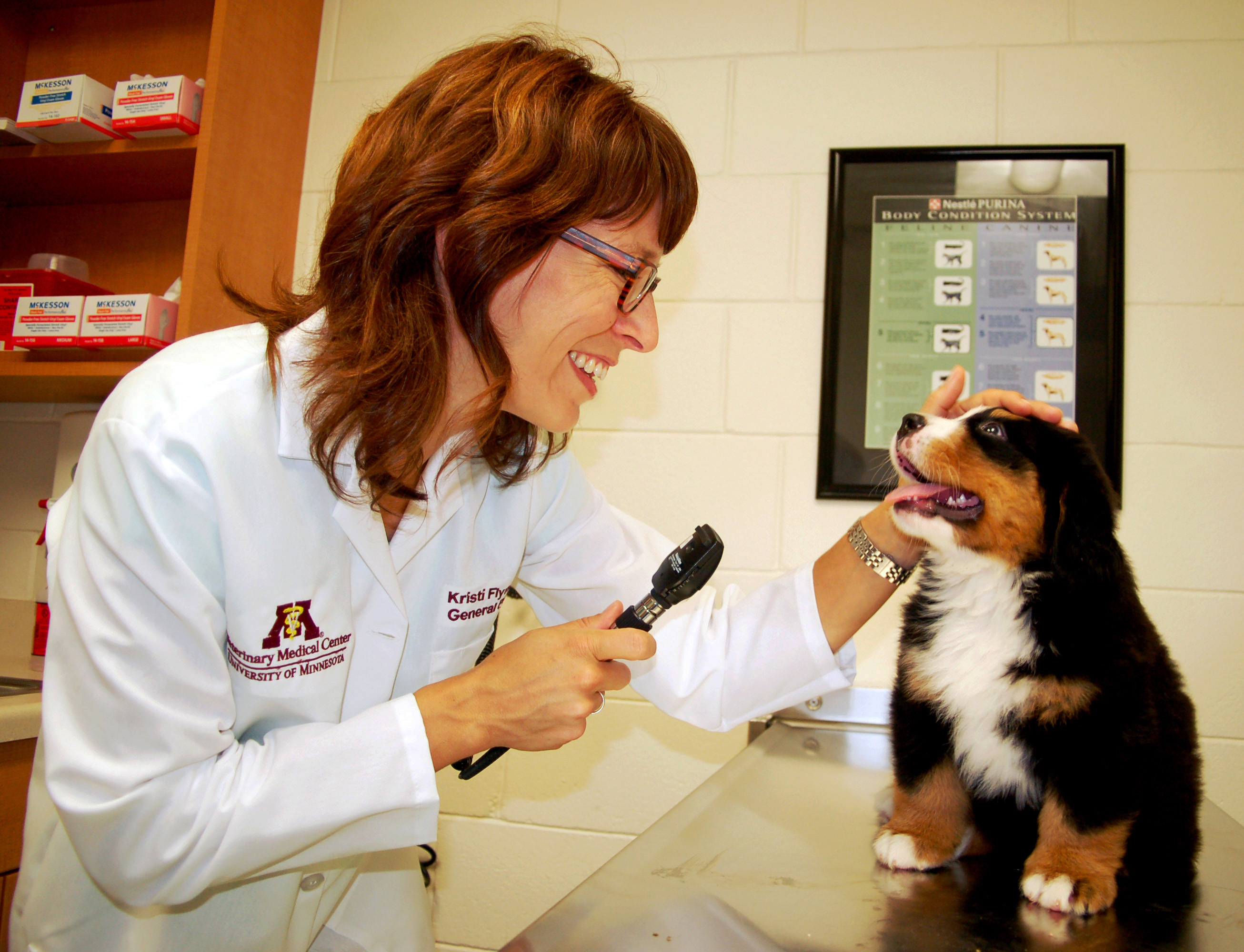Veterinarian examining a Bernese Mountain Dog puppy