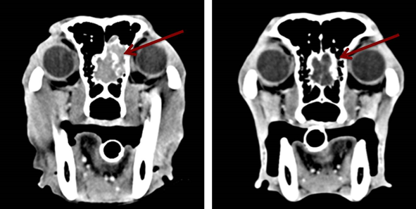 Nasal Tumor on CT in a dog