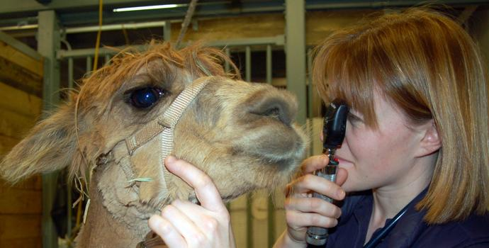 alpaca eye exam