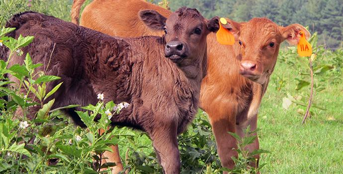 calves in field