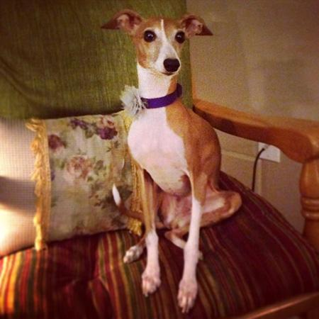 Italian Greyhound, Bella, sitting on a chair, looking at camera