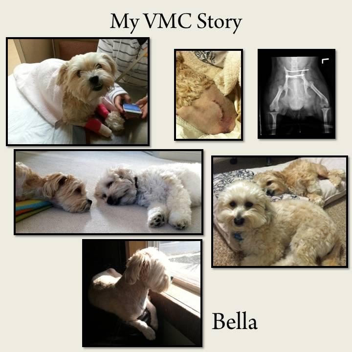 Bella, a small white dog with casts on front paws, stitches near tail and x-ray of back legs. Two white dogs resting, two white dogs sleeping and Bella looking out a window.