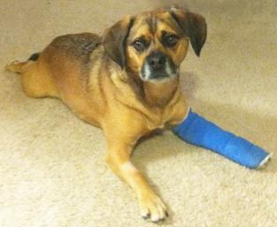 The dog, Buddy, laying down. His left forelimb wrapped in a blue bandage.