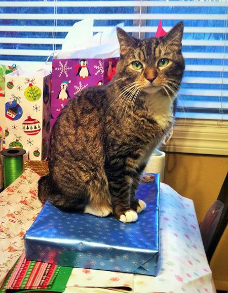 Burnie, a striped cat with white paws, sitting on top of a present that is being wrapped.