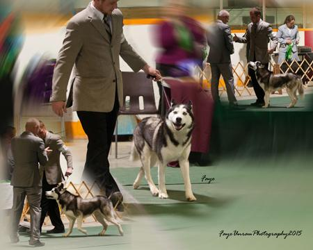 A Siberian Husky dog, Demon, in the Parade of Titleholders. A collage of 3 images.
