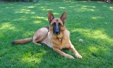 Kindersley, a German Shepard dog, rests on the grass.