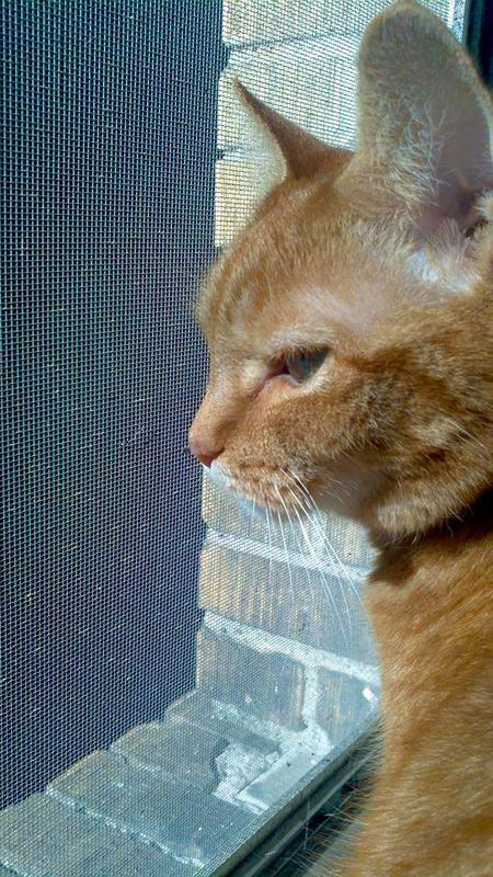Penelope, an orange striped cat, looking out a window.