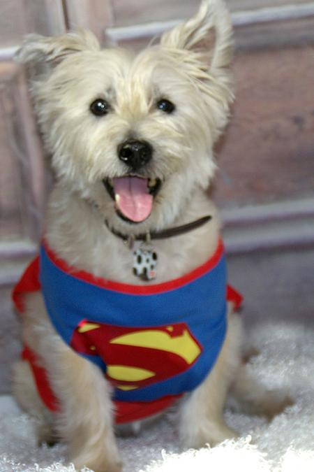 Riley, a white Scottish Terrier, wearing a Superman costume.