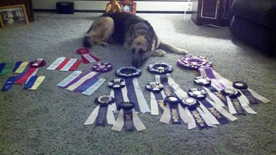 Tantra, a black and tan German Shepard, resting, with all of her ribbons spread out on the carpeting in front of her.